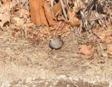 White-crowned Sparrow (Zonotrichia leucophrys leucophrys)