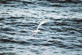 Black-tailed Gull in flight