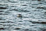 Black-tailed Gull- Charlotte,Vermont 10/29/05