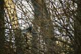 Boreal Chickadee in Orange,MA 12/17/05