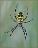 Wasp Spider / Tijgerspin