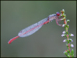 Small Red Damselfly / Koraaljuffer / Ceriagrion tenellum