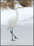 Great White Egret / Grote Zilverreiger