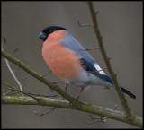 Bullfinch / Goudvink