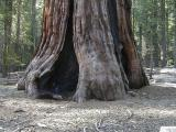 giant-sequois-tree---mariposa