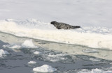 Ringed Seal on Iceflow