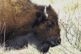 Kodiak Buffalo