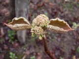 Viorne à feuilles d'aulnes, St-Onésime-d'Ixworth