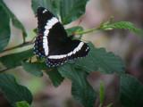 Papillon, Nestaocano