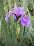 Iris, Nestaocano