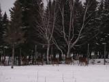 Cerfs rouges, St-Onésime-d'Ixworth