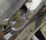 Colibris, Martin-pêcheur, pigeons