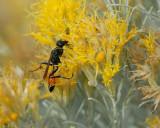 Sphecid Wasp on Rabbit Brush flower