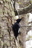 Magellanic Woodpecker female
