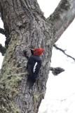 Magellanic Woodpecker male