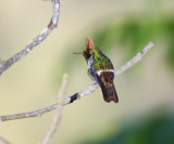 Frilled Coquette display