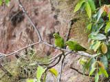 White-eyed Parakeets