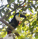 Channel-billed Toucan - Yellow-ridged form