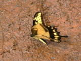 Yellow swallowtail butterfly