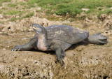 Indian Mud Turtle