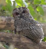Mottled Wood-owl (male)