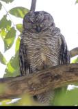 Mottled Wood-owl (female)