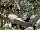 Goats eating in argan tree