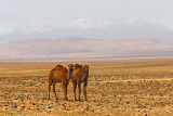 Camels with view of Atlas Mountains