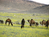 Camels in field of wildflowers