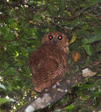 Pels Fishing Owl