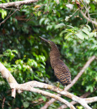 White-crested Tiger-heron