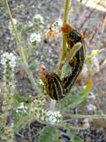White-lined Sphinx Moth caterpillar & Cryptantha