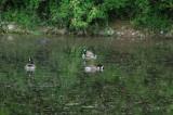 Ducks DSC_3471.jpg