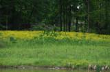 Wildflower DSC_3474.jpg