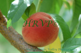 Peach & Wine Event at Prospect Hill Orchards - 08