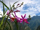 Wild Orchid in Andes