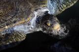 Giant Green Turtle, Paraiso Reef