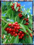Sour Cherries In Burgundy