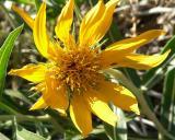 Fragrant Desert Flower