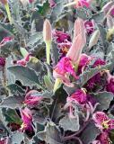 Fluffy Desert Flower
