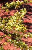 Frangrance Of Desert