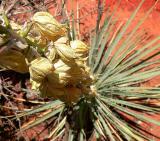 Yukka Flower