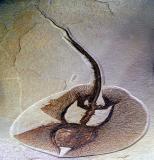 Eocene Era Ray, Just 50 Million Year Old