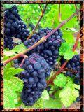Merlot Is Waiting For Harvest, Bordeaux