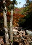 Fall Maples along North Fork Cherry River v tb10085b