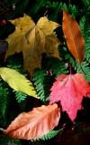Sunny Colored Leaves on Ferns v tb11083d