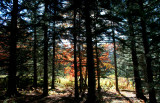 Cranberry Mtn Backlit Autumn Spruce Woods tb11084g