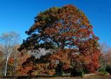 Big Oak Fall Colors Cranberry Mtn tb11081v