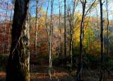 Williams Woods Sunny Fall Colors tb11089a