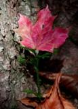 Red Maple Leaf in Ground Pine v tb1202or.jpg